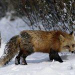 Ветеринарный контроль добытых животных