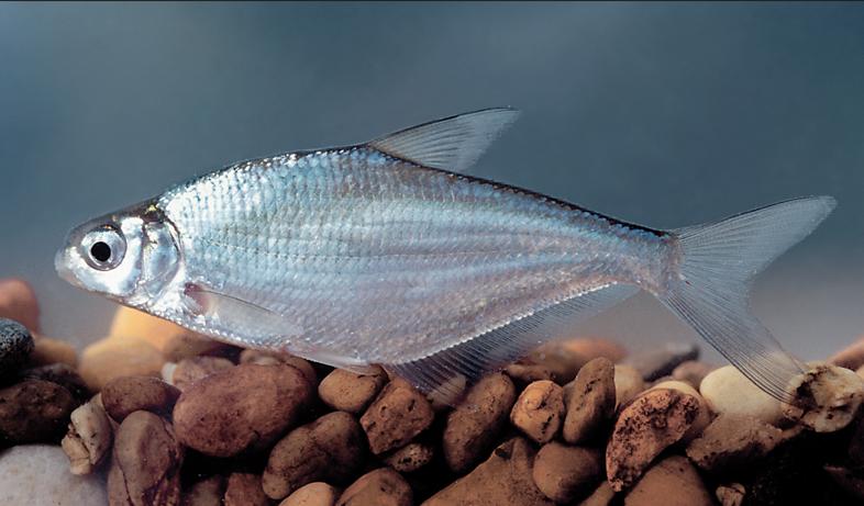 Белоглазка, Белоглазка — типично речная рыба, образует жилую и полупроходную формы. Рыбалка.