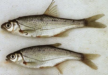 Быстрянка. Рыбалка. Рыба. align=