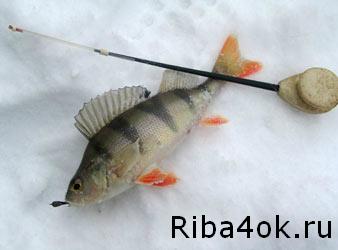 Ловля окуня, зимняя рыбалка