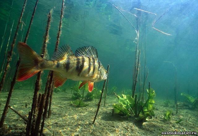 Окунь речной. Хищник. Хищная рыба. Рыбалка