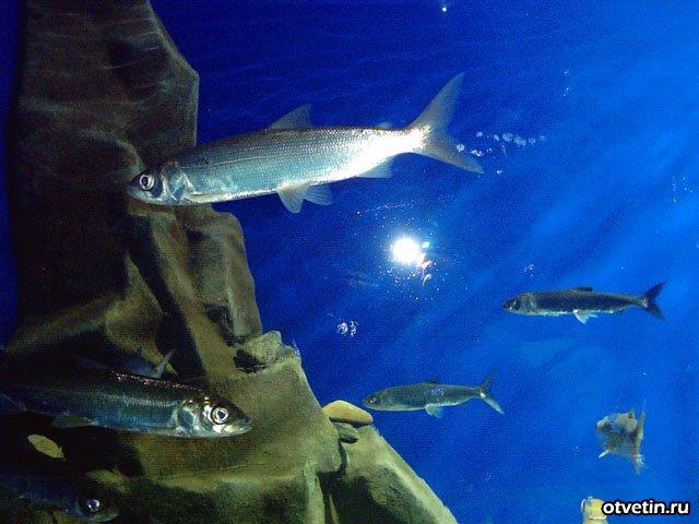 едовитоморский, или арктический, омуль,байкальский омуль. Рыбалка. Рыба