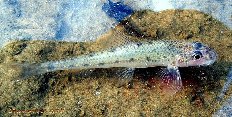 Пескарь. Рыба. Рыбалка