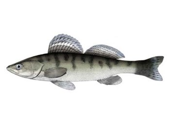 Судак волжский, берш. Рыбалка. Рыба