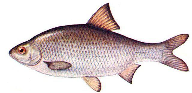 Вобла. Рыба. Рыбалка.
